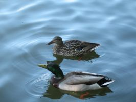 Ducks Swimming - 2 by pickleduck3