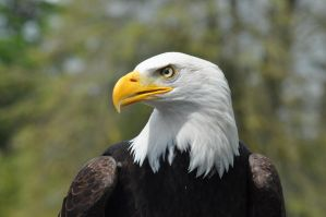 bald eagle 2 by evilpinguperson