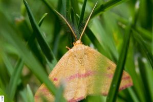 Chickweed Geometer by The-Dude-L-Bug