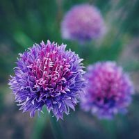 Chive by Elasias