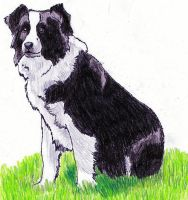 Border collie by Anna-XIII
