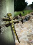 Dragonfly by Iavas
