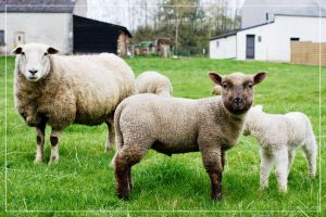 Lambs 02 by 0-Photocyte