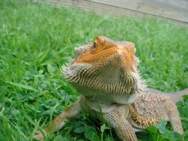 Bearded dragon in grass by LMColledge