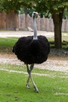 Ostrich by Fotostyle-Schindler