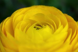 Yellow Persian Buttercup by Amatuer-Pics-By-Me