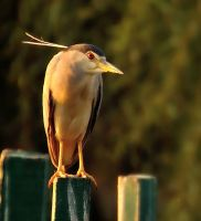 Night heron watch by missfortune11