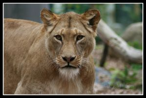 Lioness portrait by Arwen91