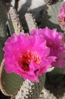 Beavertail Cactus by goatgirlart