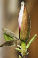 my magnolia by marob0501
