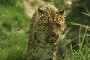 Leopard 013 by MonsterBrand-stock