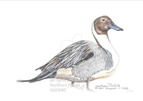 NorthernPintail042 by SarmatianWarrior