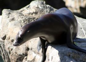 Sea Lion 1 by The-Kurgan