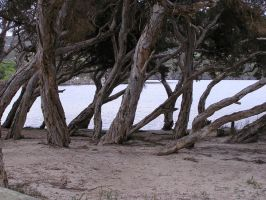 Paperbark Trees by stock-kitty