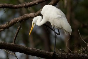 Egret in tree 3 by bovey-photo