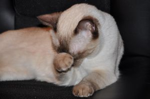Robriel-Stock Siamese Cat 8 by Robriel-Stock