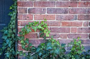 Ivy on an old Wall by muffet1