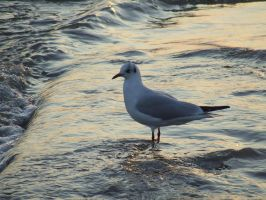 Seagull In Sea by katmary