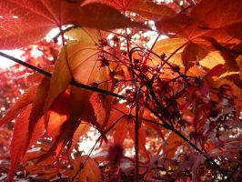 Japanese Maples by ShiverZPhotography