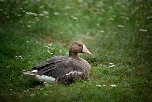 White-fronted goose by zoldszorny