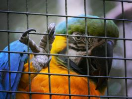 Blue and Gold Macaw by RandomTechie27