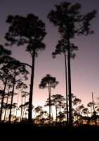 Pine Tree Silhouettes by flowerhippie22