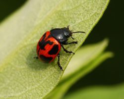 Swamp Milkweed Beetle by natureguy