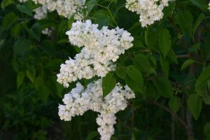 White Lilac by Blackthorness
