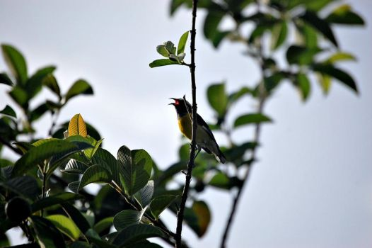 Bananaquit by ooWhiteFox