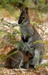 bennetts wallaby by elementality