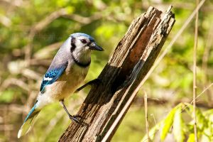Blue Jay by shaguar0508