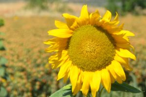 Sunflower Smiles by Marilyn958