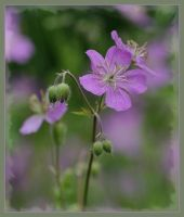 Geranium Patch by barcon53