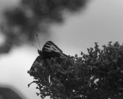 black and white butterfly 2 by hazellucy