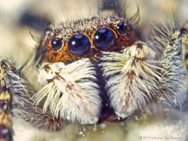 Jumping Spider by RobertoPina