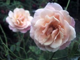 Roses, blooming late by marshmallow-away