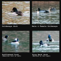 Ducks Id'd!! by kayaksailor