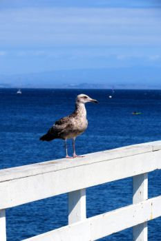 Bird on the Pier by tracy-Me