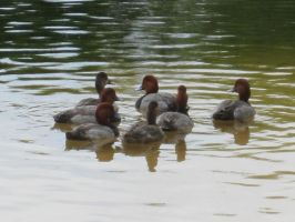 Common Pochard 21 by AxelHonoo