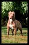 American Pit Bull Terrier 01 by guipatto