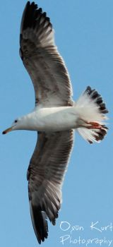 Seagull v.1.1 by wolfanger17
