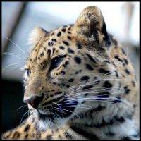 Amur Leopard avatar by snappyhappy