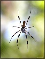 Golden Silk Spider 40D0044328 by Cristian-M