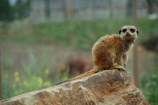 meerkat timon is watching you by Ailime-Ael