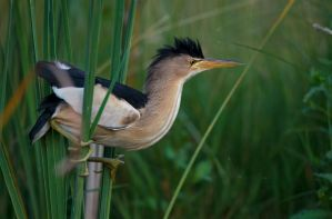 Little Bittern by BogdanBoev