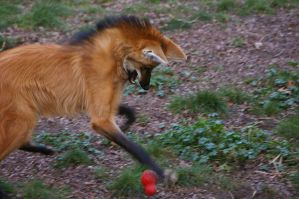 Maned wolf 39 by Silver-she-wolf-14
