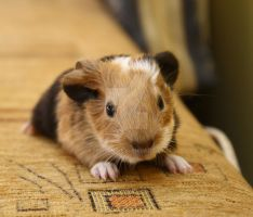 guinea pig 1 by Athrian