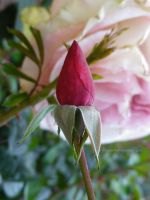 Rosebud on Pink by ShipperTrish