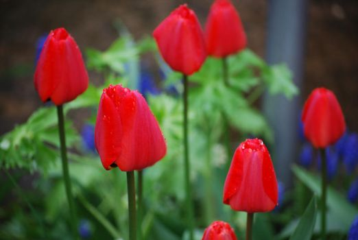 Red Tulips 09 by digita1Light