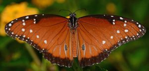 Queen butterfly by nolra